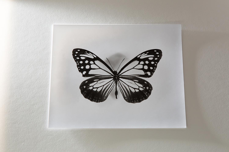 <b>アサギマダラ parantica sita </b> 写真 photo 2002-14<br><font size=1.5>「庭にフジバカマを植える。毎年必ず、藤色の花が咲き始めると、何処からか、白地に青紫、茶、黒の美しい蝶がやってくる。<br>何千キロ飛ぶ蝶だという。生駒山で羽にマークされたアサギマダラが、六十五日後、台湾の恒春半島で見つかったという。渡り蝶。美しい響きと同様、蝶が飛ぶ様はゆらゆら揺れ、奇妙に綺麗だ。」